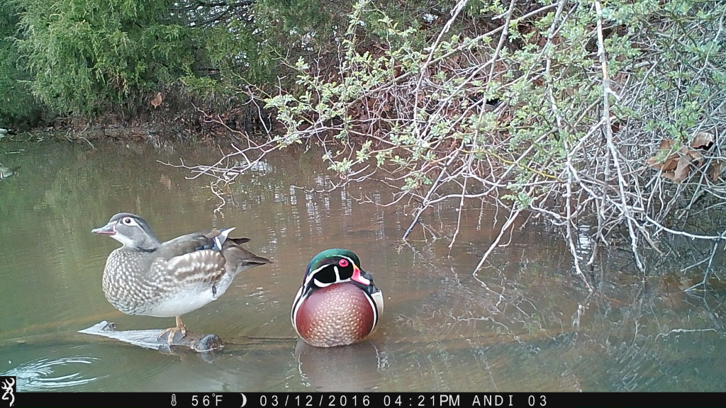 Wood Duck drake and hen taken by #BrowningCameras Recon Force
